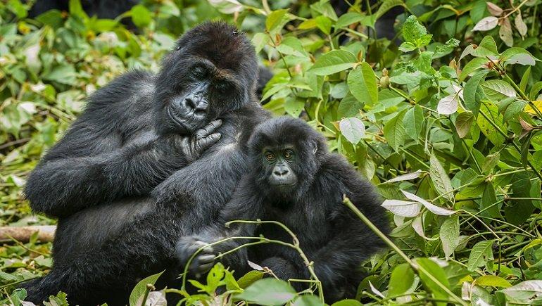ABD'de ve dünyada bir ilk yaşandı! Koronavirüs gorillerde görüldü