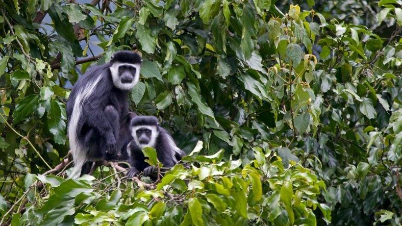Araştırmalar ortaya koydu! Kolobus maymunları sosyal mesafeye dikkat ediyor