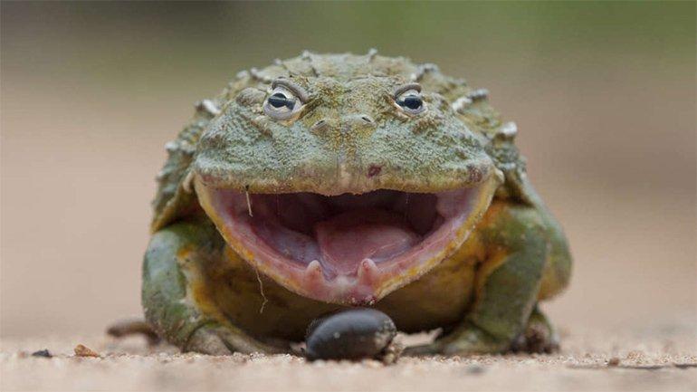 Kurbağa, Leopara Karşı: İşte İlginç Kapışma ve Şaşırtıcı Sonucu