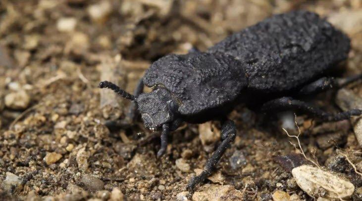Üzerinden Araba da Geçse Ölmeyen Bu Böceğin Neden Ölmediği Anlaşıldı