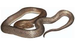 Yılanın midesinden çıkan yeni yılan türü